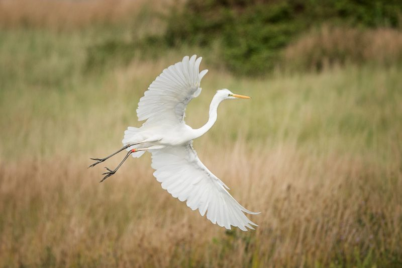 Great White Egret by John Wichall - Sep 1st, Blashford Lakes