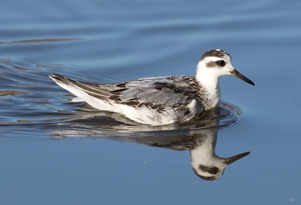 Grey Phalarope by David Cuddon, Sep 26th, Pennington Marshes