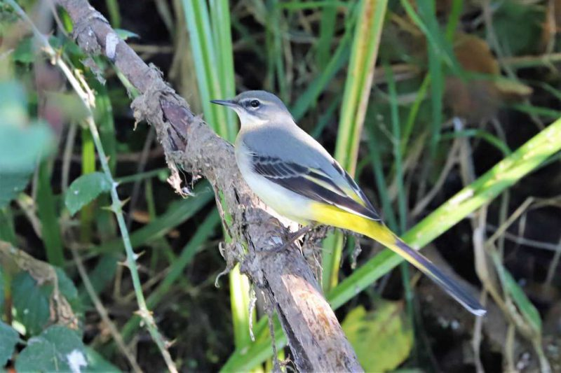 Grey Wagtail by Brian Cartwright - Sep 13th, Anton Lakes