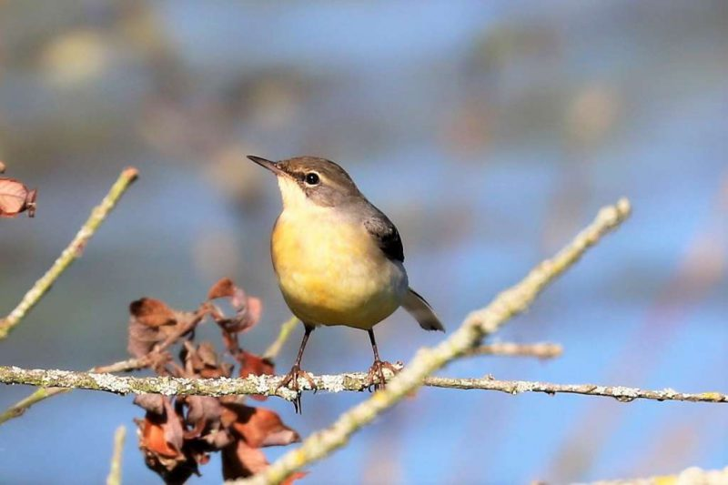 Grey Wagtail by Brian Cartwright, Sep 25th, Anton Lake