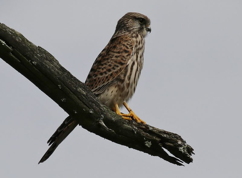 Kestrel by Terry Jenvey - Sep 14th, Hampshire