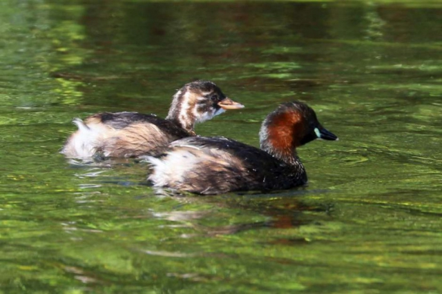 Little Grebe by Brian Cartwright - Aug 30th, Stockbridge