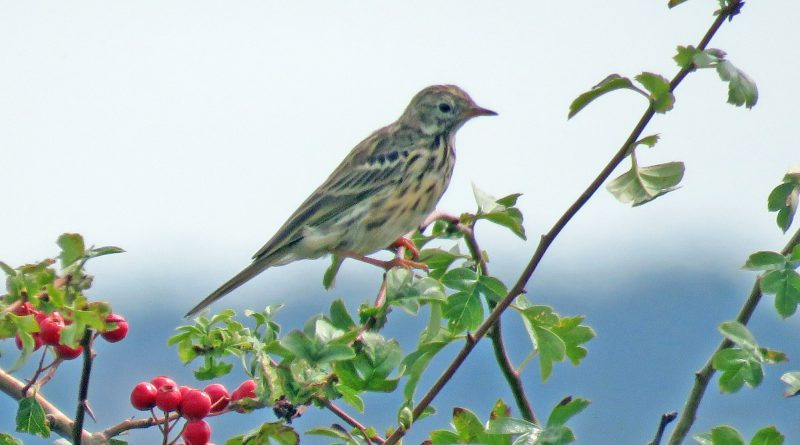 Meadow Pipit by Graham Davies, Sep 24th, Farlington Marshes