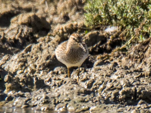 Pectoral Sandpiper by Mike Duffy - Sep 17th, Farlington Marshes