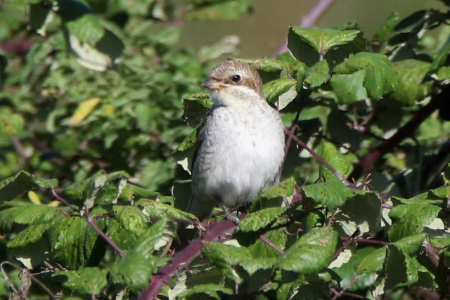 Red-backed Shrike by Andy Tew, Sep 21st, Farlington Marshes