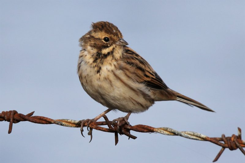 Reed Bunting by Andy Tew - Sep 16th, Pennington Marshes
