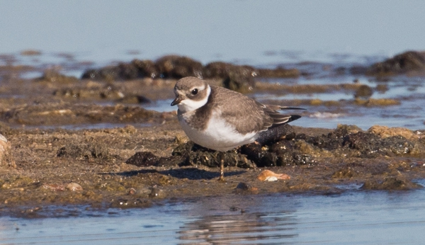 Ringed Plover by David Cuddon, Sep 26th, Pennington Marshes