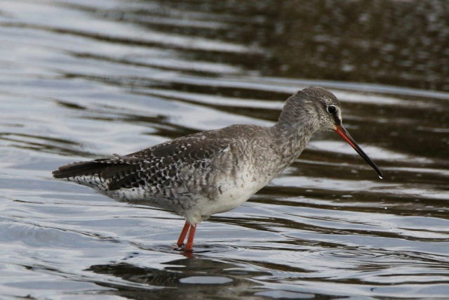 Spotted Redshank by Andy Tew - Sep 16th, Pennington Marshes