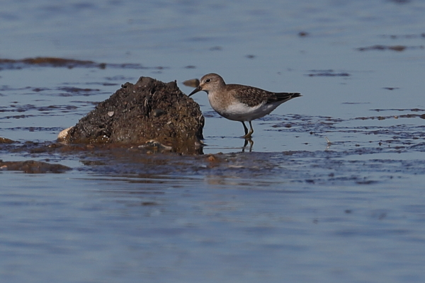 Temminck's Stint by David Cuddon, Sep 26th, Pennington Marshes