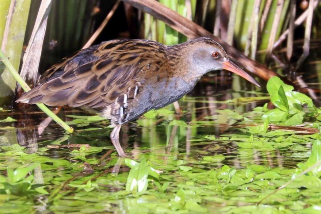 Water Rail by Brian Cartwright - Aug 30th, Stockbridge