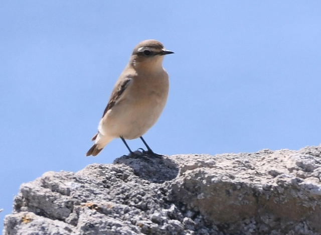 Wheatear by Dave Levy - Sep 11th, Titchfield Haven