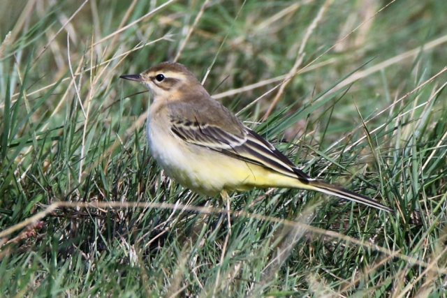 Yellow Wagtail by Andy Tew, Sep 21st, Farlington Marshes