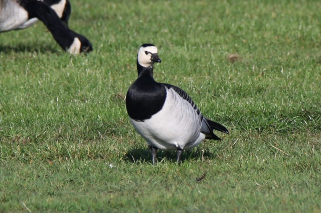 Barnacle Goose by Andy Tew - Oct 10th, Pennington Marshes