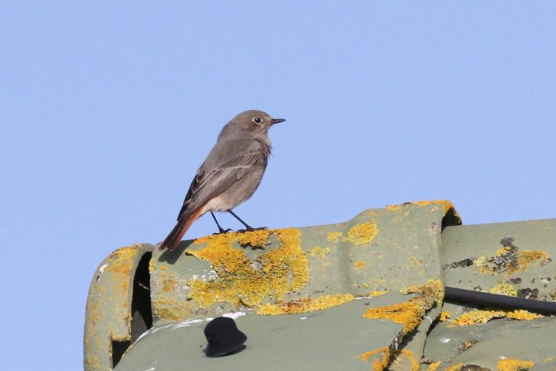 Black Redstart by Bob Marchant - Oct 15th, Meon Shore