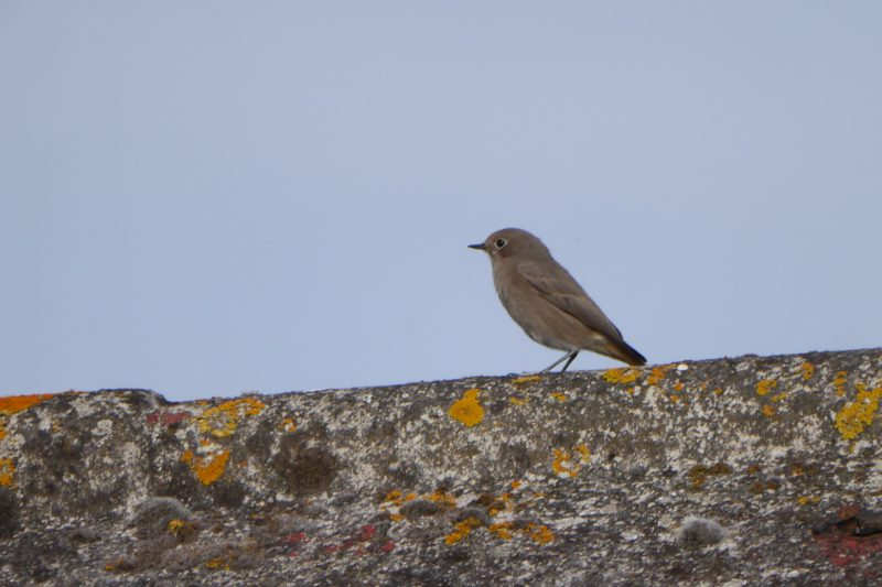 Black Redstart by John Shillitoe - Oct 8th, Titchfield Haven