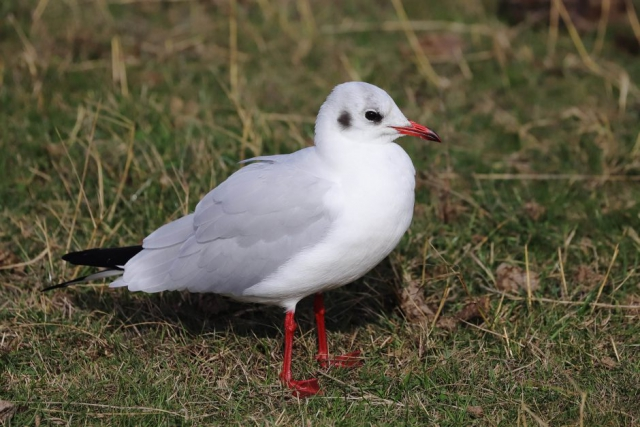 Black headed Gull by David Cuddon - Oct 13th, Milford on Sea