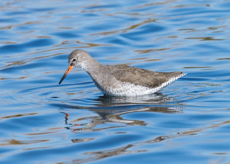 Common Redshank by Gareth Rees, Oct 3rd, Pennington Marshes