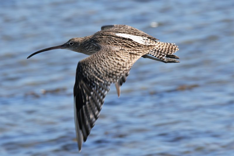 Curlew by Andy Tew, Oct 1st, Pennington Marshes
