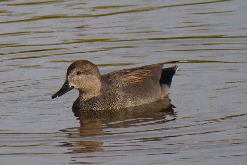 Gadwall by John Shillitoe - Oct 8th, Titchfield Haven