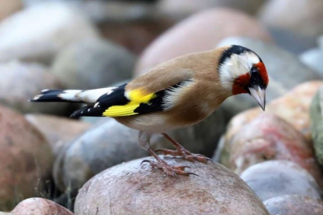 Goldfinch by Brian Cartwright - Oct 16th, Anton Lakes