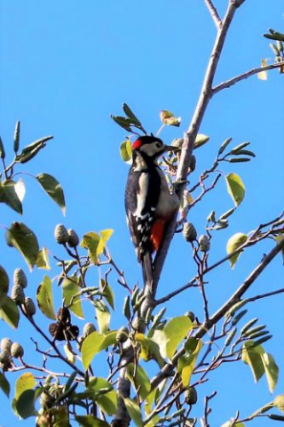 Great Spotted Woodpecker by Brian Cartwright, Sep 29th, Anton Lakes