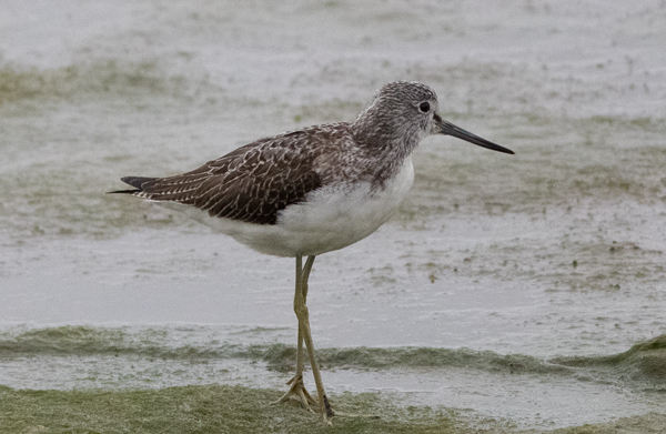 Greenshank by David Cuddon - Oct 8th, Pennington Marshes