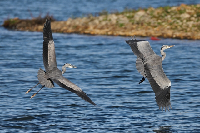 Grey Heron by David Cuddon - Oct 19th, Blashford Lakes