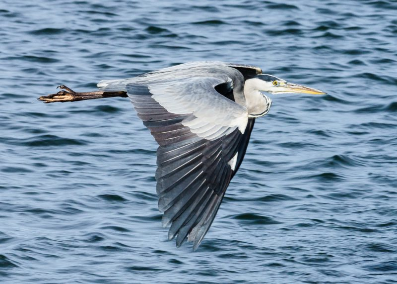 GreyHeron by Gareth Rees, Oct 7th, Blashford Lakes