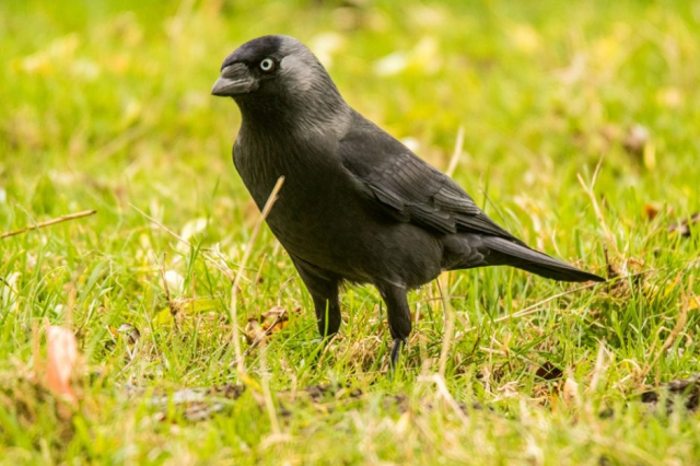 Jackdaw by Mike Duffy - Oct 12th, The Vyne