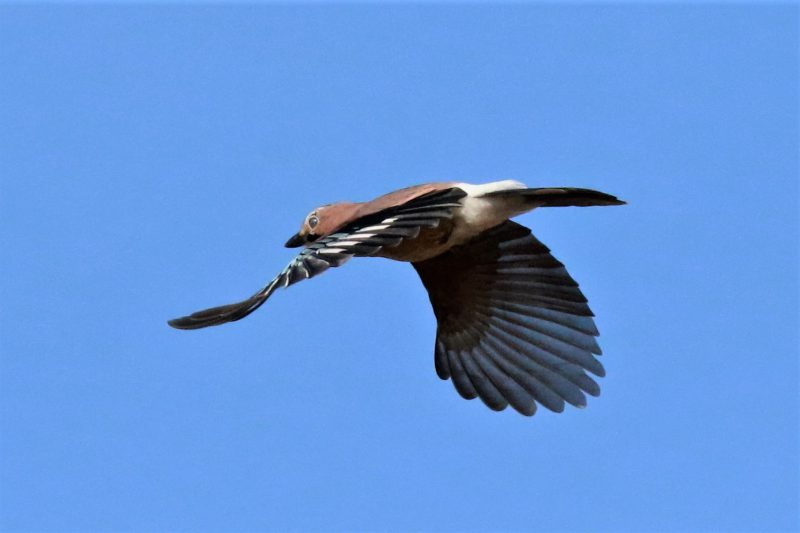 Jay by Andy Tew - Oct 18th, Keyhaven