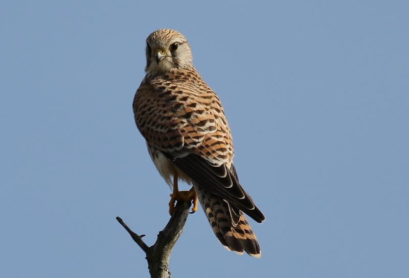 Kestrel by Terry Jenvey, Oct 5th, New Forest