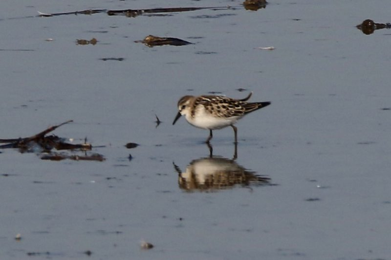 Little Stint by Andy Tew - Oct 10th, Pennington Marshes