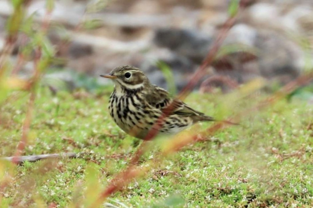 Meadow Pipit by Brian Cartwright - Oct 11th, Blashford Lakes