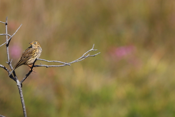 Meadow Pipit by David Cuddon - Sep 29th, New Forest