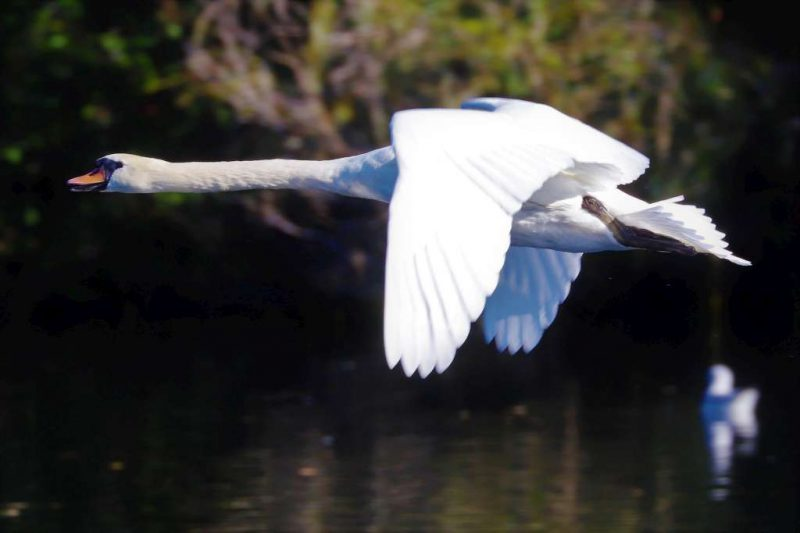 Mute Swan by Brian Cartwright - Oct 21st, Anton Lakes