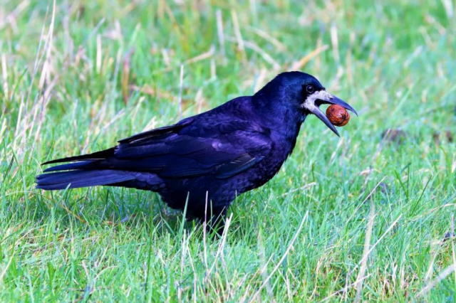 Rook by Brian Cartwright - Oct 18th, Stockbridge