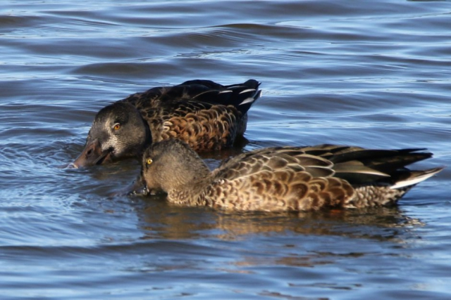 Shoveler by Andy Tew, Oct 1st, Pennington Marshes