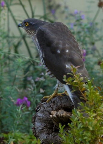 Sparrowhawk by Martin Bennett - Oct 13th, Furze Hill