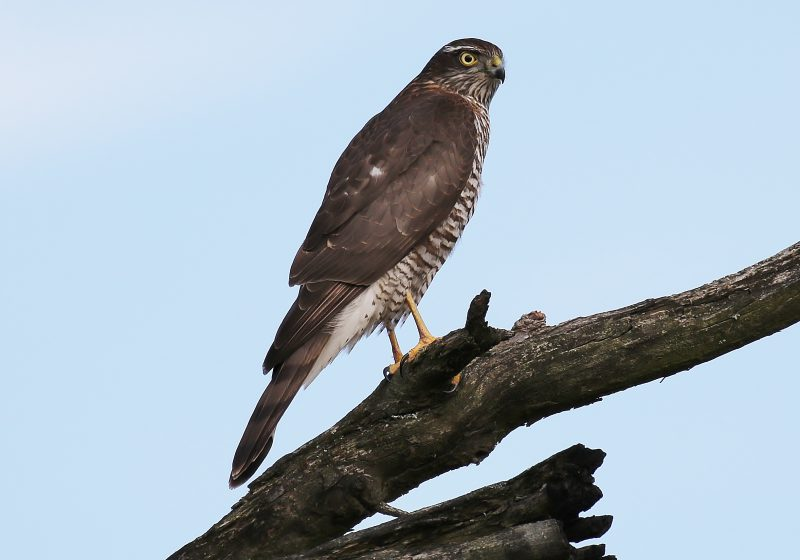 Sparrowhawk by Terry Jenvey, Oct 5th, New Forest