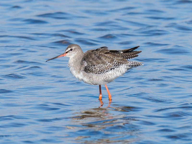 Spotted Redshank by Gareth Rees, Oct 3rd, Pennington Marshes