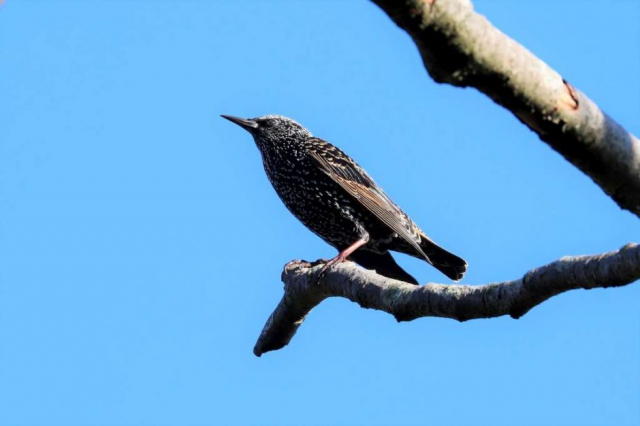 Starling by Brian Cartwright, Oct 3rd, Anton Lakes