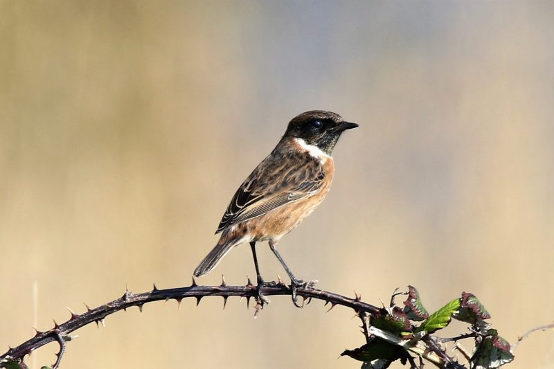 Stonechat by Andy Tew - Oct 10th, Pennington Marshes