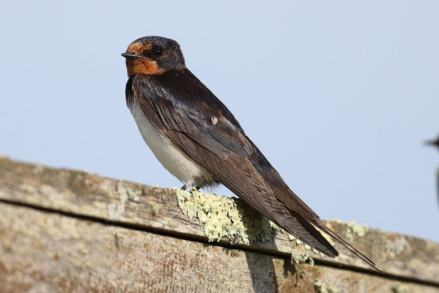 Swallow by David Cuddon - Oct 24th, Blashford Lakes