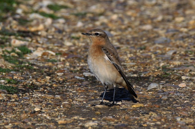 Wheatear by Andy Tew - Oct 18th, Keyhaven