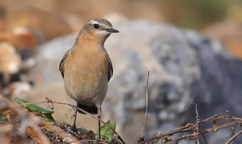 Wheatear by David Cuddon - Oct 13th, Milford on Sea
