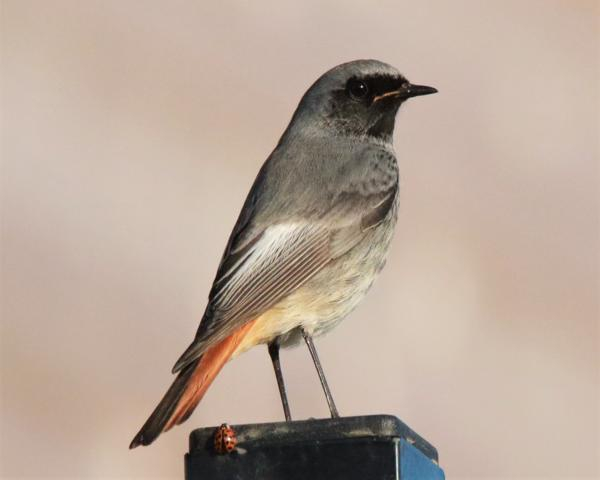 Black Redstart by Andy Tew - Nov 17th, Redbridge