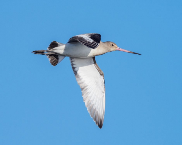 Black-tailed Godwit by Gareth Rees - Nov 18th, Pennington Marshes