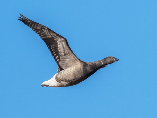 Brent Goose by Gareth Rees - Nov 18th, Pennington Marshes