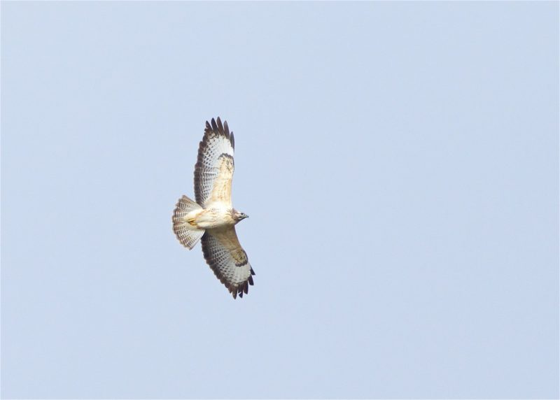 Buzzard by Martin Bennett - Nov 9th, Furze Hill