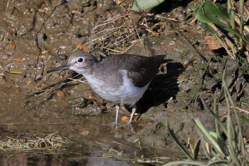 Common Sandpiper by Andy Tew - Oct 27th, Lower Test Marshes